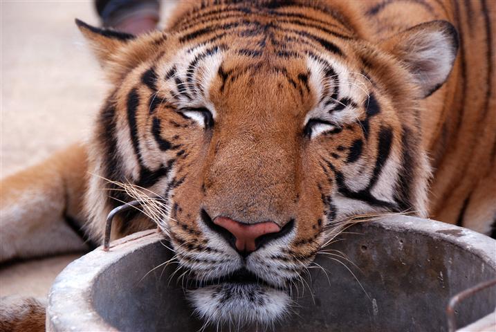 tiger-temple-5